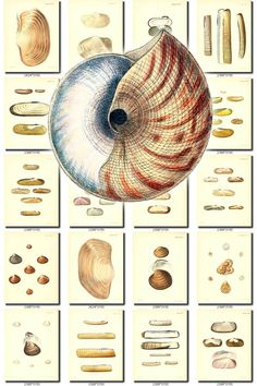 SHELLS-38 Collection of 160 vintage images scrap pearl