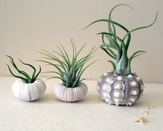 mixed trio // air plant urchins by peacocktaco on Etsy, $29.00