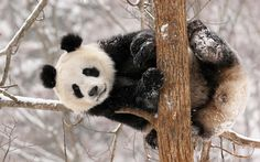 Oso panda 2.png