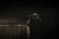 Hunting Sea Eagle - A backlit image of a hunting sea eagle plucking a fish from the dark waters of a Norwegian fjord at sunrise.