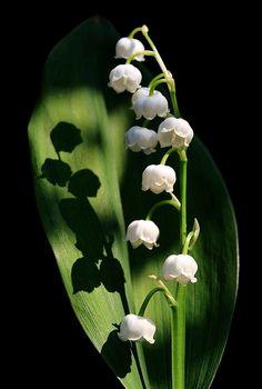 Lilly of the Valley..........beautiful photo..