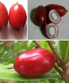 There's one fruit that's not eaten for its own enjoyment, but to better enjoy the flavors of others. It's known as the Miracle Fruit (Synsepalum dulcificum), or in West Africa where it originates: Agbayun, Taami, Asaa, or Ledidi. French explorer Chevalier des Marchais gave the first account of this curious fruit in 1725, reporting that West African natives would chew a small berry before meals in order to enhance the taste of their food.