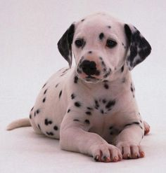 He is the most adorable #Dalmatian pup I've seen