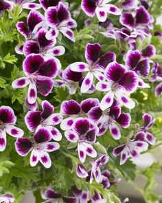 Mosquitaway are lavish flowering Angel Pelargoniums for both your home or garden. The strong citrus scent of these plants acts as a deterrent to mosquitoes which appear to dislike the lemony scent.