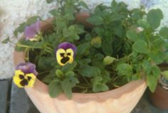 Pansies in a pot - perfect!