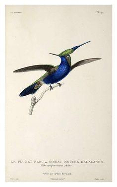 027-Les Trochilidées ou les Colibris et les Oiseaux-Mouches… 1832- René Primevère Lesson