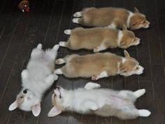 Napping Corgi Puppy x V.