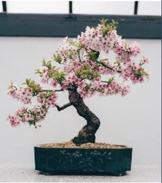 Bonsai Tree Care for Beginners Cherry Blossom Bonsai Tree, Buy Bonsai Tree, Flowering Bonsai Tree, Bonsai Tree Care, Bonsai Trees, Cherry Bonsai, Japanese Bonsai Tree, Jade Bonsai, Wisteria Bonsai