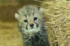 one month old cheetah cub, triplets born on Apri 16, 2014, at the Zoo Vienna