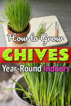 to Grow Chives Year Round Indoors Growing Chives Indoors is easy. Doing this will give you an option of a fresh year-round harvest of this herb.Growing Chives Indoors is easy. Doing this will give you an option of a fresh year-round harvest of this herb. Growing Vegetables Indoors, Container Gardening Vegetables, Growing Plants, Vegetable Gardening, Veg Garden, Garden Plants, Succulent Containers, Container Flowers, Container Plants