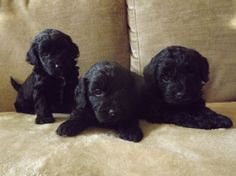 Cocker-Poo puppies! J, this is what pal looked like as a puppy!!!