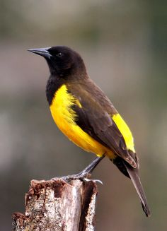 Chopim-do-brejo - Yellow-rumped Marshbird (Pseudoleistes guirahuro) | by claudio.marcio2