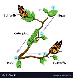 Life cycle of butterfly (eggs, caterpillar, pupa, butterfly). Educational biology for kids. Cartoon vector illustration in flat style. Butterfly Pupa, Animals Name In English, Biology For Kids, The Very Hungry Caterpillar Activities, Butterfly Metamorphosis, Farm Animal Crafts, Murals For Kids, Butterfly Life Cycle, Charts For Kids