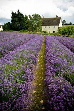 lavender farm...