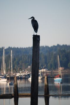 Heron in Liberty Bay, Poulsbo