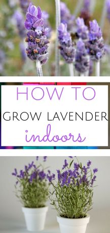 Learn how to grow your own lavender indoors.