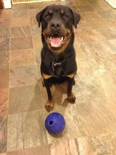 Their smiles are really, really scary… | 31 Reasons Rottweilers Are The Absolute Worst