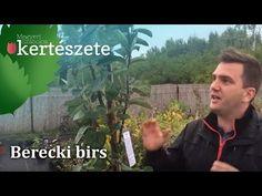 Birs metszése / quince pruning / potatura cotogno - YouTube