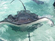 Swim with the Stingrays in Grand Cayman...such an amazing expirience!