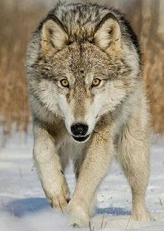 Timber Wolf sobre la nieve.