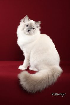 "Skyler Blu -  a Blue Point ""mitted"" Ragdoll. He has white paws (mitts) instead of dark ""points"" on his feet.This trait shows his Birman ancestry."