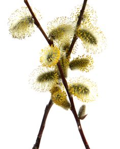 it's catkin season!
