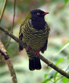 Barred Fruiteater. Peru, Bolivia, Colombia, Ecuador, & Venezuela. Natural habitat is subtropical or tropical moist montane forests.