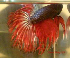 Comb Tail bred by Cecilia Bailey Mallett