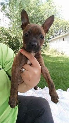 Meet Pearl, a Petfinder adoptable Pit Bull Terrier Dog | Brooklyn Center, MN | You can fill out an adoption application online on our official website.Pearl maybe small but she...