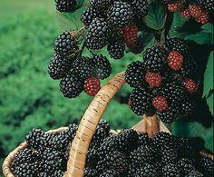 My backyard will be FULL of thornless blackberries.