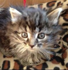Chanel is an adoptable Domestic Long Hair Cat in Bayville, NJ. Chanel is a beautiful domestic long hair tabby sweetie.  She is approximately 5-6 weeks old and up to date on all medical.  She was broug...
