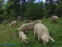 A podcast with Walter Jeffries of Sugar Mountain Farm on raising pastured pigs. A must listen episode!