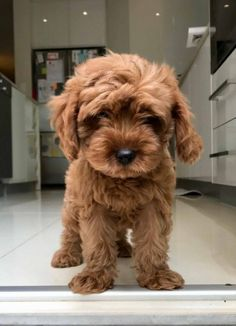 'Apple' – the Beautiful Red Toy Cavoodle : NT Oodles Baby Animals Super Cute, Super Cute Puppies, Cute Little Puppies, Cute Little Animals, Cute Dogs And Puppies, Cute Funny Animals, Baby Dogs, Doggies, Fluffy Puppies