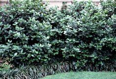Viburnum suspensum / Viburnum suspensum part sun, drought tolerant