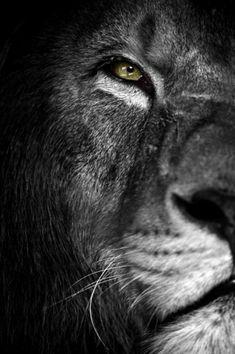 Pin by 👑 ⭐ warrior chris ⭐ 👑 on ⭐ animals black & white ⭐ ль Lion Images, Lion Pictures, Lion Wallpaper, Animal Wallpaper, Logo Lion, Desenio Posters, Lion Eyes, Lion Photography, Animals Black And White