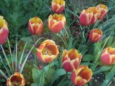 Impressionismi - Monetin puutarha Givernyssä (video 1:46).
