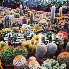 Tierra de Cactus #EstoEsBroadway Cactus spines can attract positive ions and so are useful to have in rooms with electrical equipment.