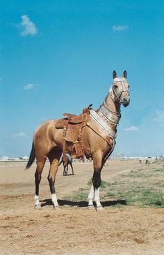 Akhal-Teke horse is the unique cultural heritage of the Turkmen people. Turkmenistan, Central Asia.