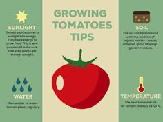 You can follow me on: http://facebook.com/pencileater    #tomatoes #grow #growing #tips #infographic