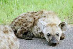Baby Hyena - Kruger National Park South Africa in Photos. Visit: http://www.ytravelblog.com/kruger-national-park-south-africa/