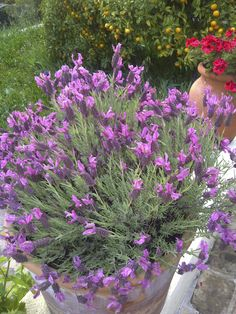 Butterfly Lavender.