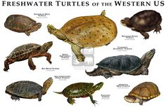 Common Snapping Turtle, Alligator Snapping Turtle, Turtle Pond, Map Turtle, Chelydra Serpentina, Reptiles, Freshwater Turtles, Land Turtles, Box Turtles
