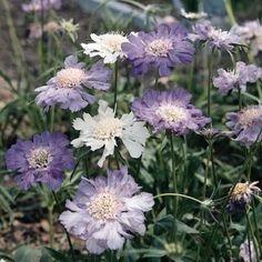 30+ Issac House Pincushion Mix Flower Seeds / Scabiosa / Perennial