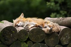 Fox Siesta by Manfred Lauterbach