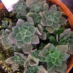 Aeonium canariense - sowing 2012