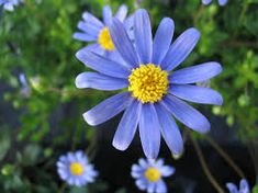 Image result for blue daisy