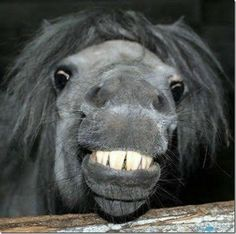 Very interesting post: TOP 47 Funny Horse Pictures.сom lot of interesting things on Funny Horse. Horse Smiling, Smiling Animals, Laughing Animals, Happy Animals, Laughing Horse, Wild Animals, Pretty Horses, Horse Love, Beautiful Horses