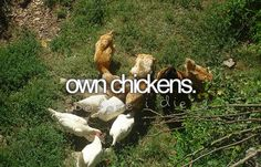 Anyone that knows me at all knows I have always wanted chickens :)