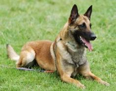 Belgian Malinois @Cindy Wallace this guy looks just like Draco!