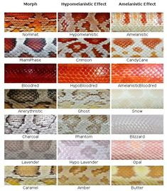 Hope this can help with figuring out your corn snake morph. Hope this can help with figuring out your corn snake morph. Hope this can help with figuring out your corn snake morph. Rat Snake, Snake Eyes, Snake Skin, Les Reptiles, Cute Reptiles, Amphibians, Pretty Snakes, Beautiful Snakes, Gameroom Ideas